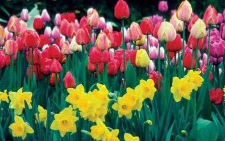 Come curare le piante: i tulipani e i narcisi
