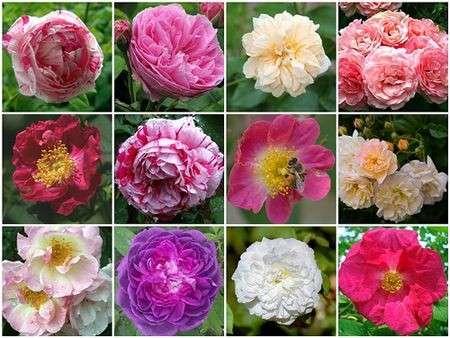 Come curare le piante: le Rose Antiche