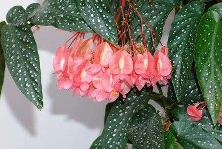 Piante Da Appartamento Begonia.Come Curare Le Piante La Begonia Corallina Pourfemme