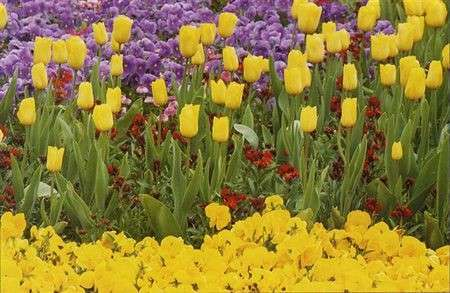 Significato dei fiori: Tulipani e Viole del Pensiero