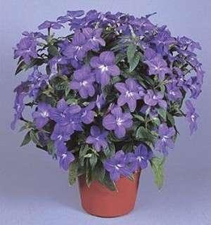 pianta fiore zaffiro