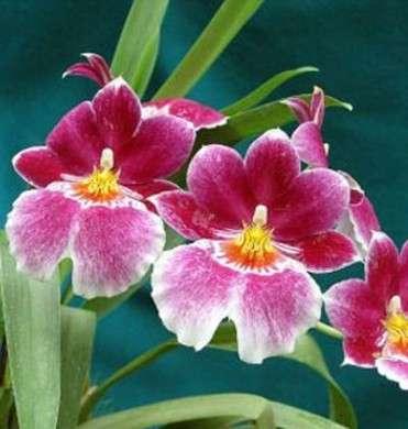Come curare le piante: l'Orchidea Miltonia