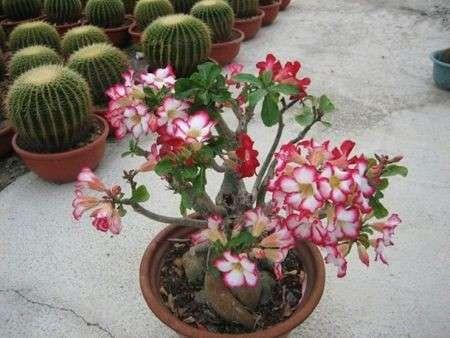 Come curare le piante: la Rosa del Deserto