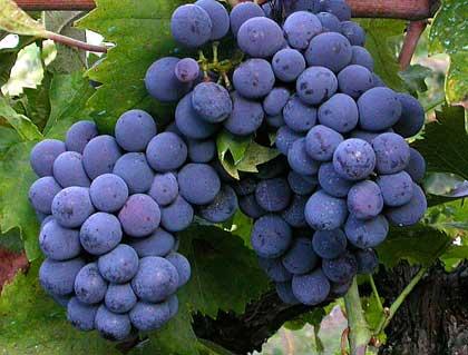 Perdere peso con l'uva