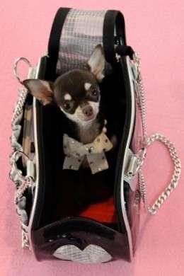 Accessori vip: quando il cane si infila in borsetta…