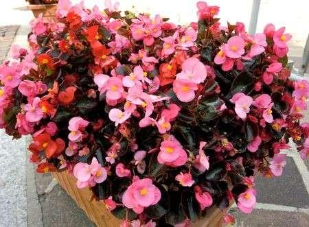 Come curare le piante: la Begonia Semperflorens