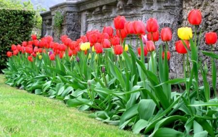 Piantare i bulbi dei tulipani