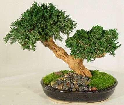 Come si curano i bonsai