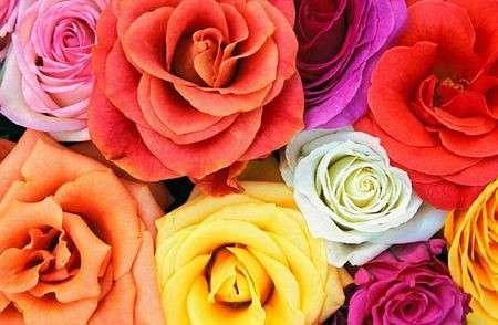 Significato e linguaggio dei fiori: le rose
