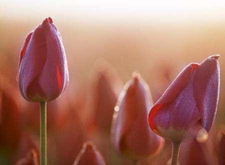 Significato e linguaggio dei fiori: i tulipani