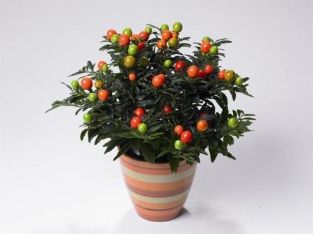 Come si cura il Solanum, chiamato anche Ciliegia invernale