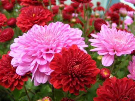 Come coltivare i crisantemi e curarne le malattie