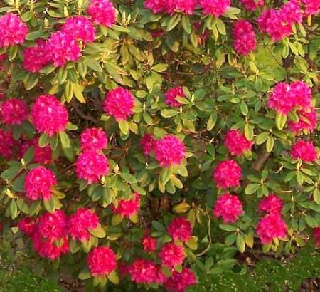 Come coltivare il rododendro, pianta da giardino e da balcone