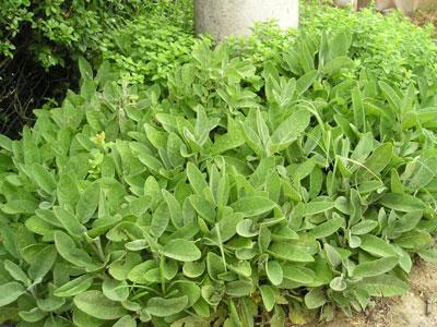 salvia erbe aromatiche