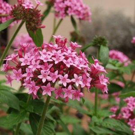 stella egiziana fiori rosa