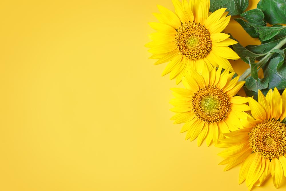Come coltivare i girasoli in vaso: consigli utili per uno dei fiori più solari