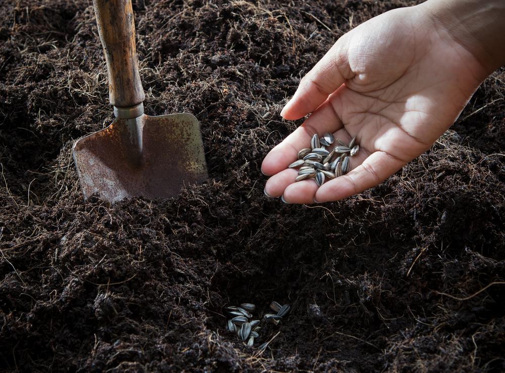 La semina del girasole