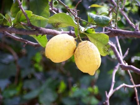 Una bella pianta di limoni in giardino o sul balcone: come prendersi cura dell'agrume profumato?