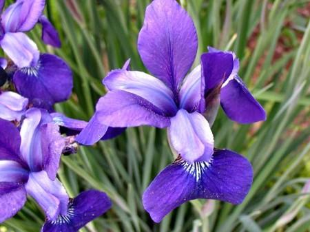 piantare iris