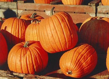 Come si coltiva una zucca, simbolo di Halloween? Consigli per il prossimo anno!