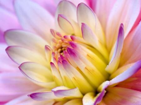 Cucinare con i fiori, la ricetta dei biscotti ai fiori di dalia