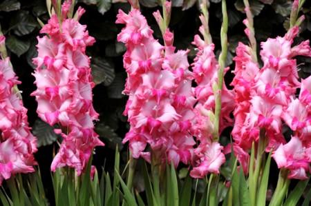 Come coltivare il gladiolo, prendersi cura di un fiore del quale esistono 150 specie