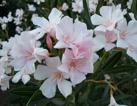 Coltivare un oleandro in giardino consigli utili per for Piantare un giardino