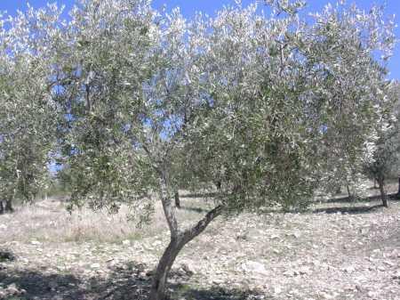 Piantare un ulivo in giardino, consigli utili per far crescere una pianta  bella e buona