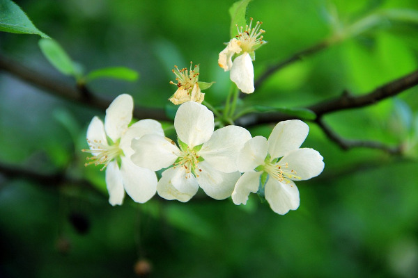 Begonia giardino