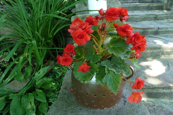 Begonia vaso