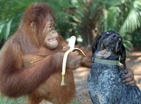 Per sconfiggere l'obesità potrebbe essere utile osservare la dieta degli oranghi