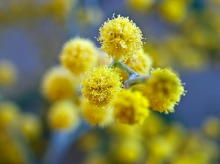 Ricette con i fiori, le frittelle dolci con i fiori di acacia, gustose e profumate