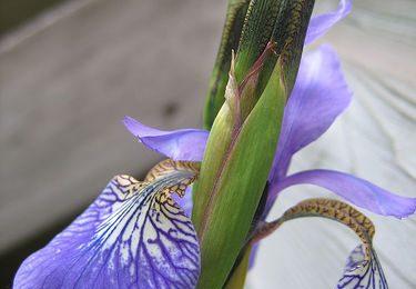Ricette con i fiori, una frittata dolce con gli Iris come dessert