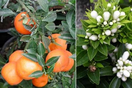 Coltivare la pianta di chinotto, un agrume buono e gustoso che offre una bevanda unica