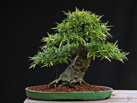 Ficus bonsai come coltivare e prendersi cura di una - Cura dei bonsai in casa ...