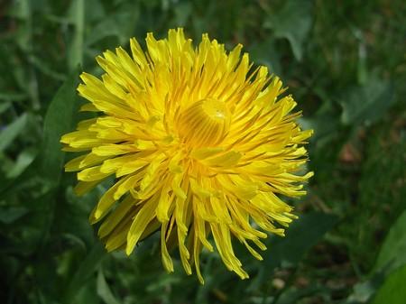 Ricette con i fiori, dolci crepes ai fiori di tarassaco comunemente detti 'dente di leone'