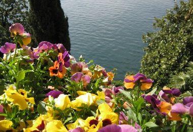 Ricette con i fiori, biscotti allo yogurt con viole e gerani, profumati e sani