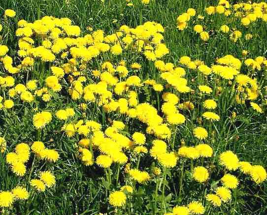 piante dimagranti tarassaco