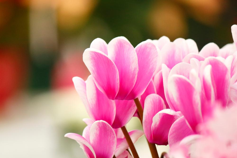 Piante e fiori da balcone ciclamino