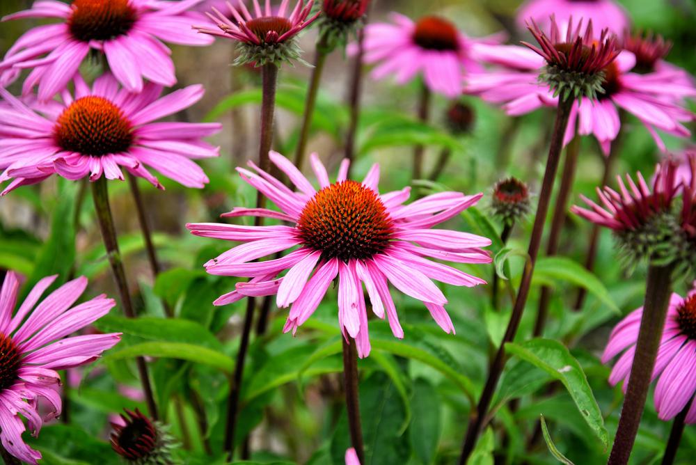 Piante e fiori da balcone echinacea