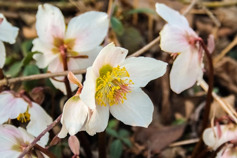 Piante e fiori da balcone elleboro