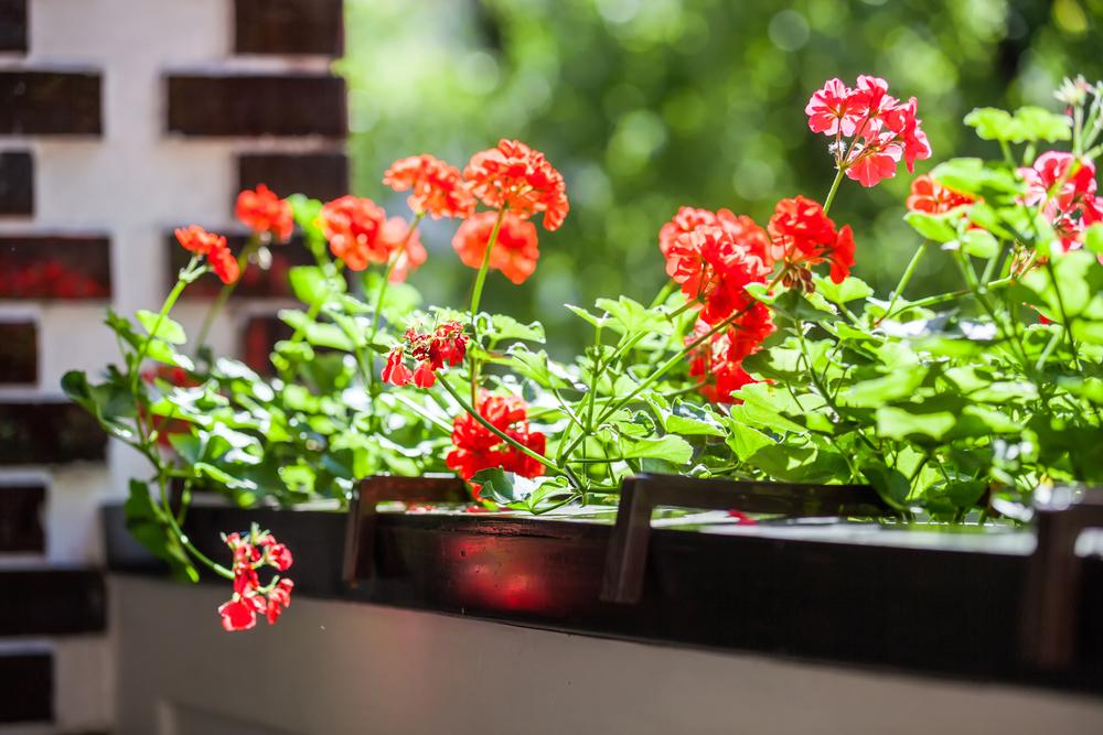 Piante e fiori da balcone geranio