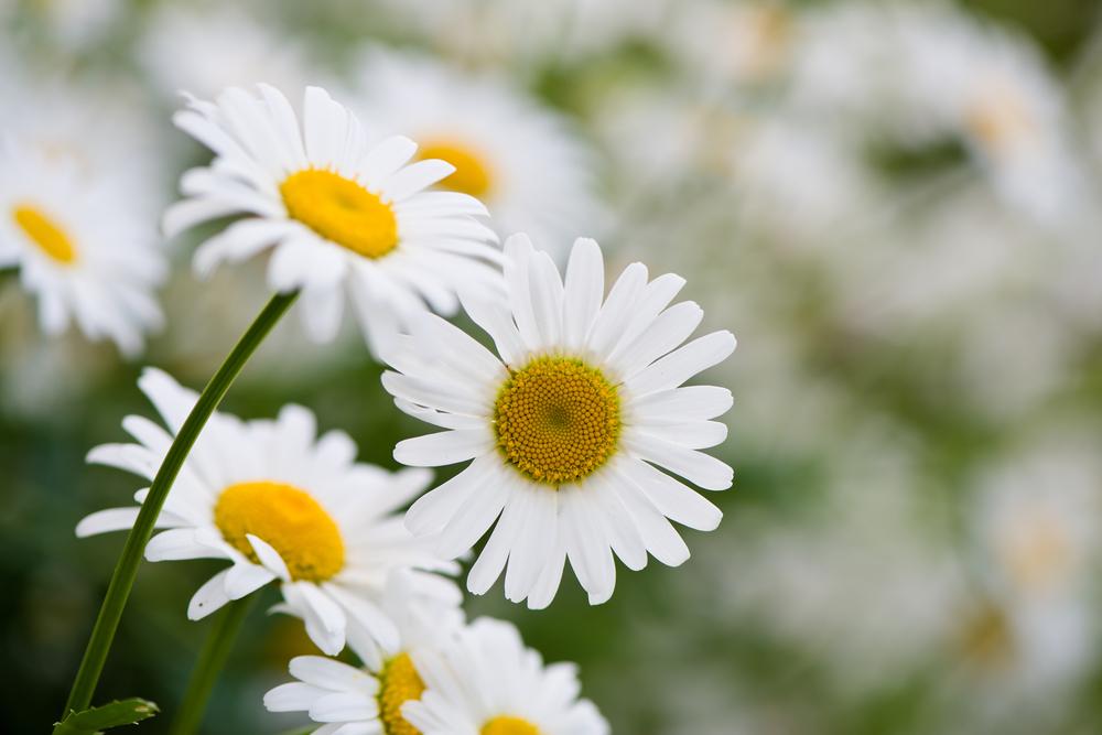 Piante e fiori da balcone margherita