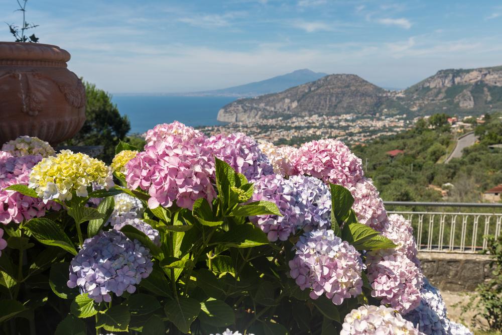 Piante e fiori da balcone ortensia