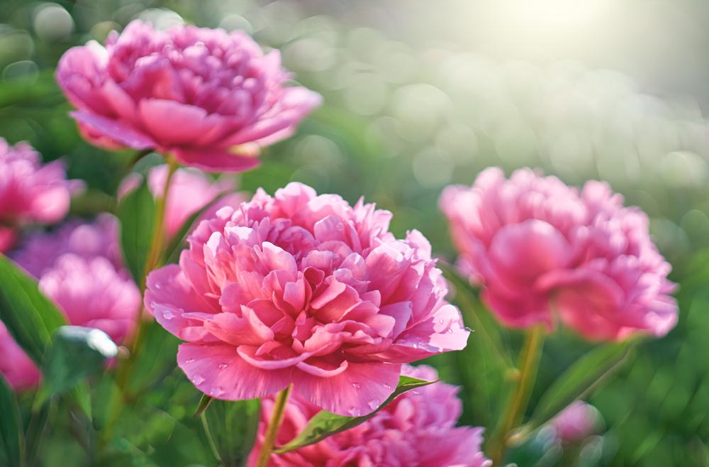 Piante e fiori da balcone peonia