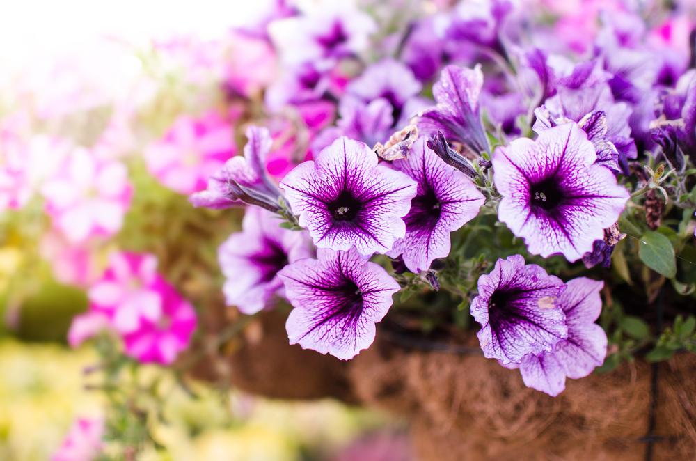 Piante e fiori da balcone petunia