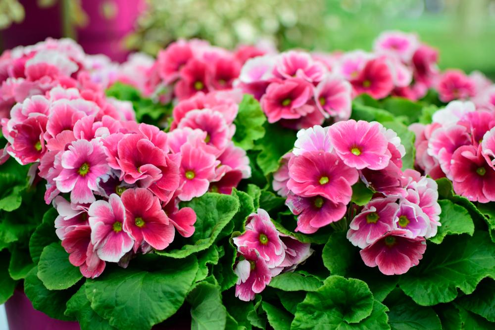 Piante e fiori da balcone primula