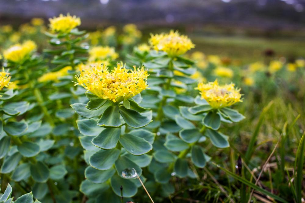 Piante e fiori da balcone rhodiola