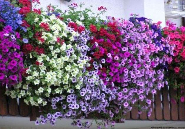 piante e fiori da balcone perenni o resistenti quali sono