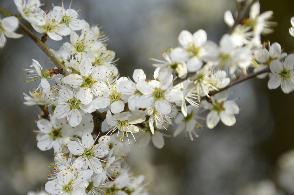 Biancospino fiore